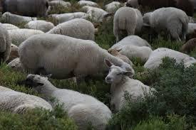 makke schapen