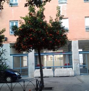 sinasappelbomen